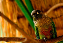 The Green-cheeked Parakeet