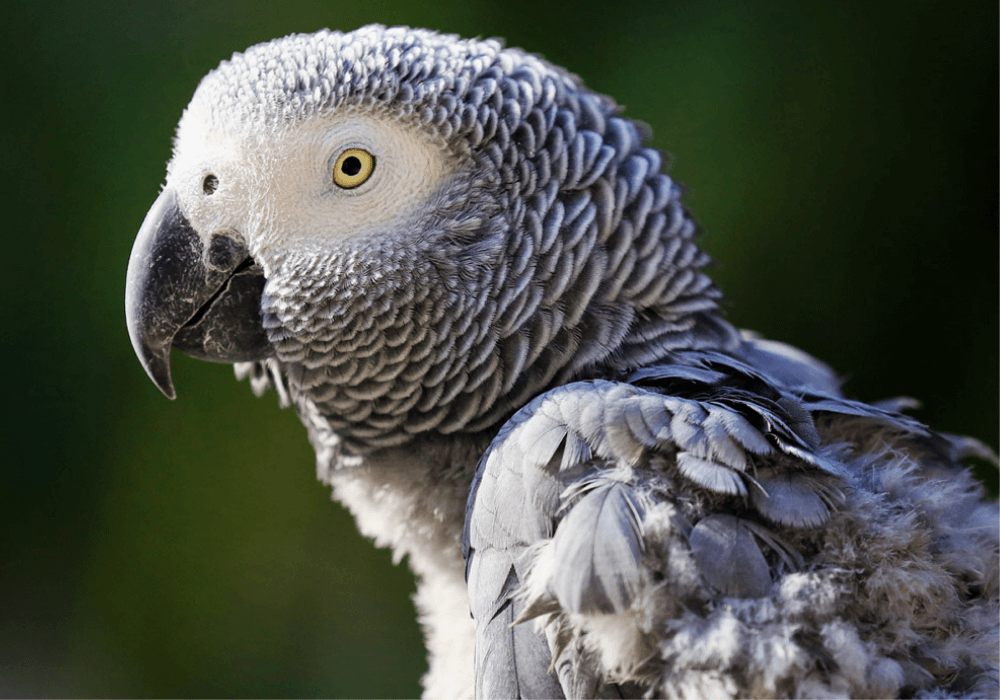 Moulting in Parrot