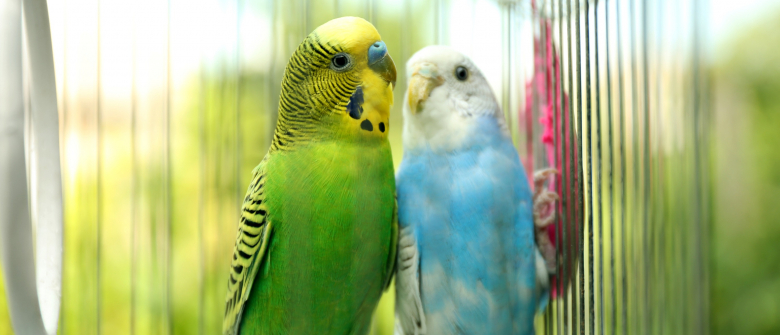nettoyer cage oiseau compagnie - Clean the cage of his pet Parrot