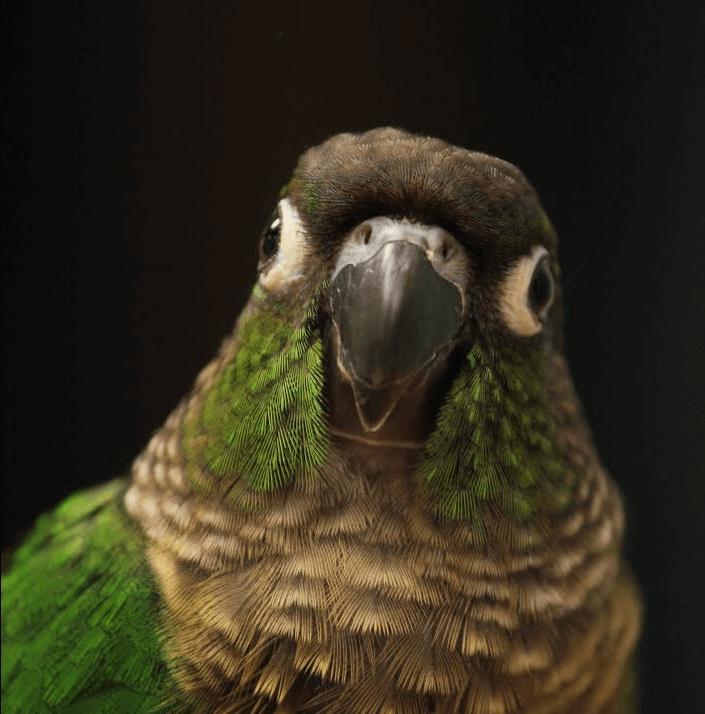 green cheek parrot