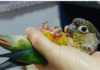 Training my green cheek conure