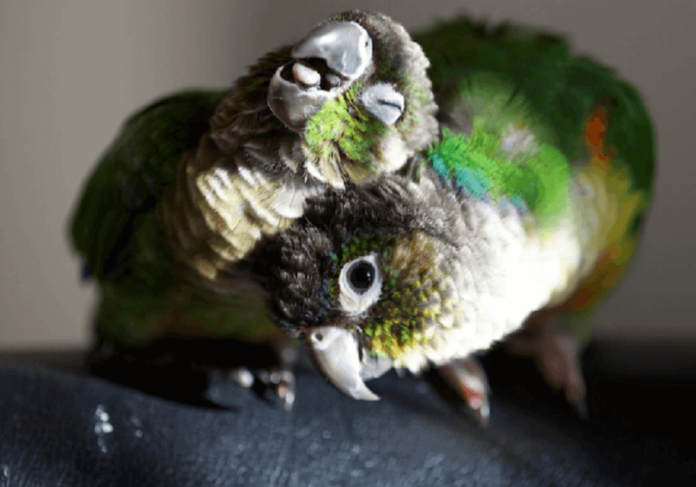 How to recognize a male from a female Conure