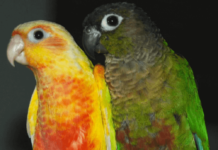 Reproduction of conure