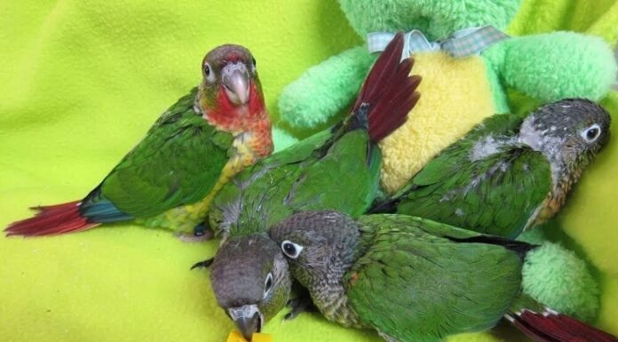 Give toys to the conure