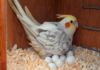 Egg-laying sickness in parrots