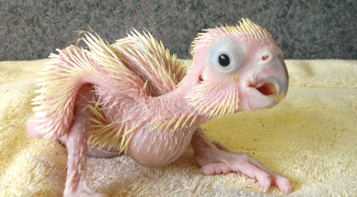 Manufacture of a breeder for baby parrot