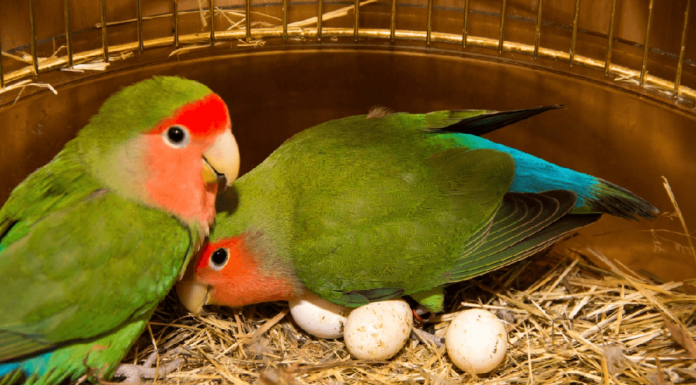 Materials needed for Hand Breeding parrot