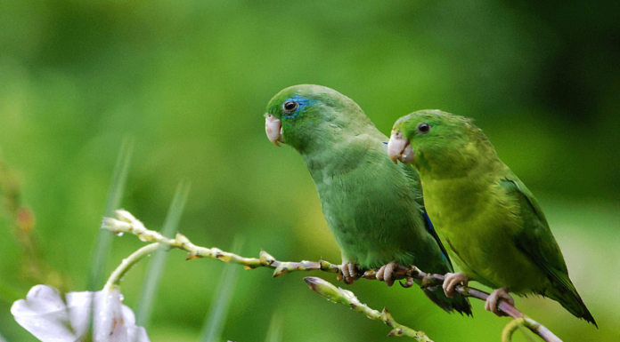 Reproduction of parrotlet