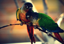 Digestive Disorders in green cheek conure