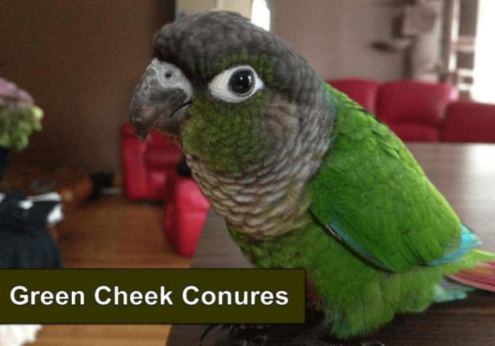 Some Information You Should Know About Green-cheeked Conure