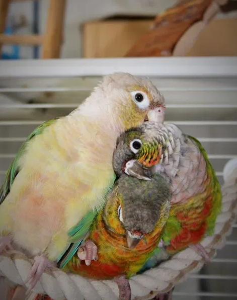 Successful cohabitation between many conure - Successful cohabitation between many conure