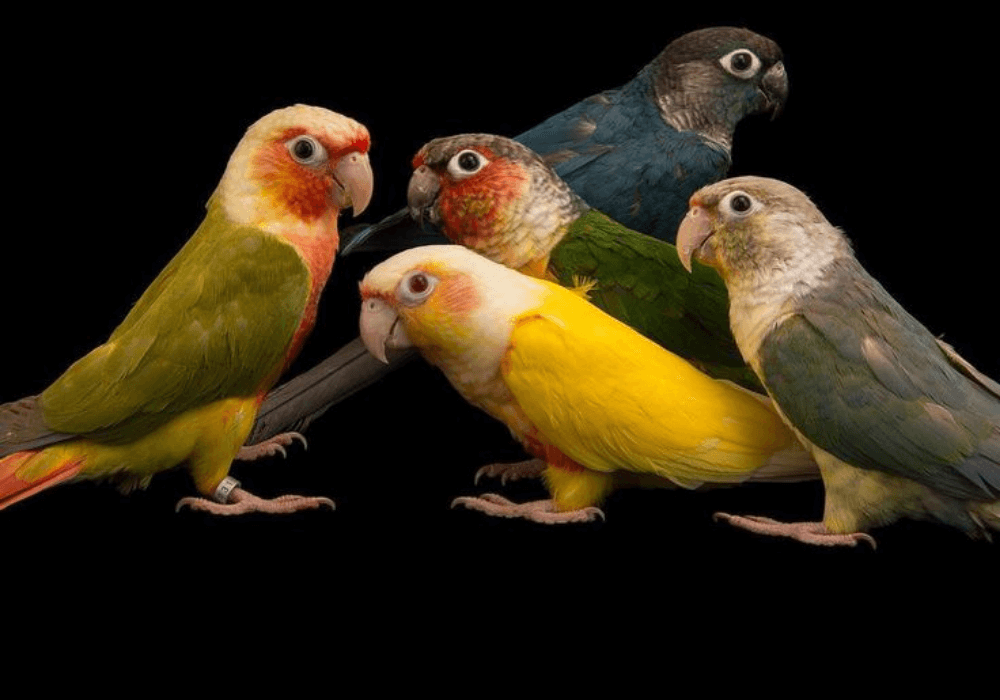 Untitled design 14 1 - The newest mutation of the green cheeked conure